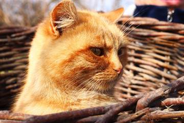 The red cat in the basket