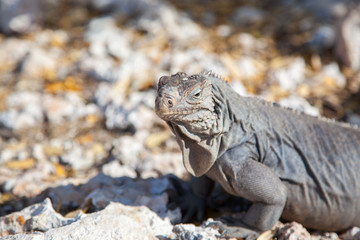 iguanaclose-up  on stones on the island of Cayo largo in Cuba