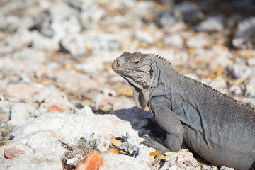 iguana close-up  in profile on the rocks on the island of Cayo Largo in Cuba