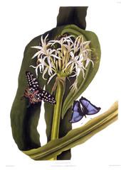 Crinum PedunculatumSwamp Lily , with Butterflies