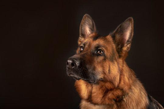 Portrait of beautiful Germad Shepherd dog
