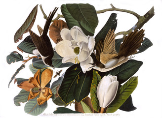 Black Billed Cuckoo, by John James Audubon