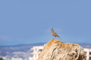 A field lark in the Tomb of the Kings, Paphos - Cyprus