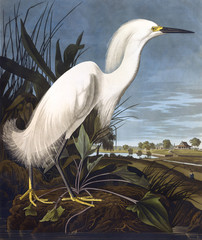 Snowy Heron, by John James Audubon