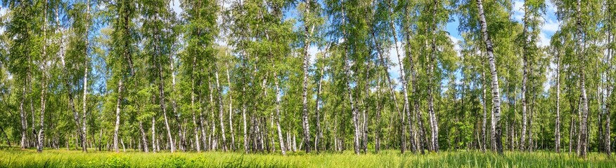 Stores photo Bosquet de bouleaux Birch grove on a sunny spring summer day, landscape banner, huge panorama