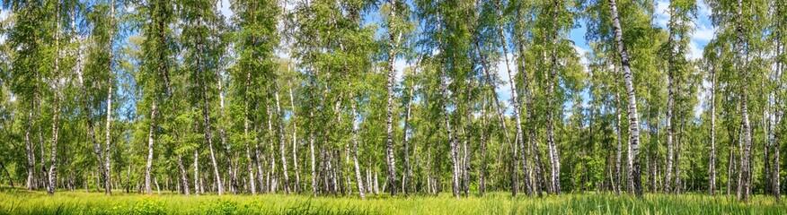 Photo sur cadre textile Bosquet de bouleaux Birch grove on a sunny spring summer day, landscape banner, huge panorama