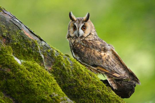 Long Eared Owl (Asio otus) in the Welsh countryside, UK