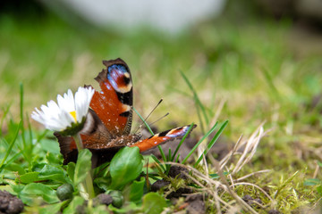 Peacock butterfly sitting on a flower