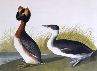 Horned Grebe, by John James Audubon