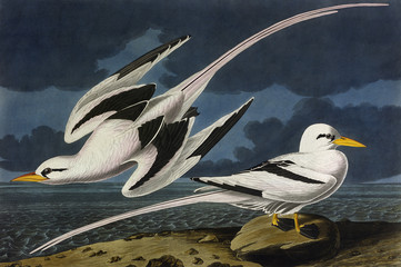 Tropic Bird, by John James Audubon