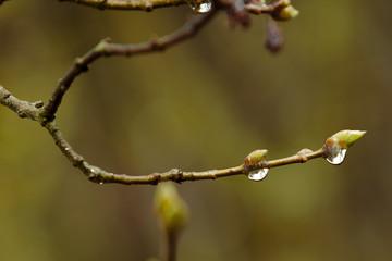 Ast mit einer Blüte nach einem Regen mit Regentropfen