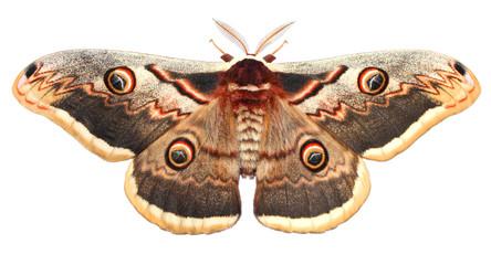 Fototapeta Moth, Saturnia pyri, the Giant Peacock moth, Great Peacock moth, Giant Emperor moth or Viennese emperor (Lepidoptera: Saturniidae). Isolated on a white background obraz
