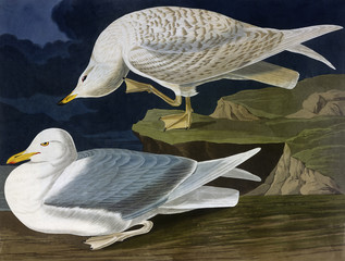 White Winged Silvery Gull, by John James Audubon