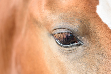 Canvas Prints Horses Close up of a Brown Horses Eye