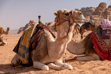 Fotorolgordijn Kameel Dromedar camels in Wadi Rum desert in Jordan