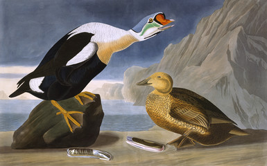 King Duck, by John James Audubon