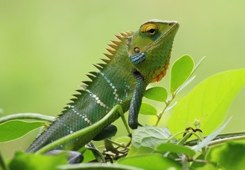 Green chameleon is sitting on a branch with leaves
