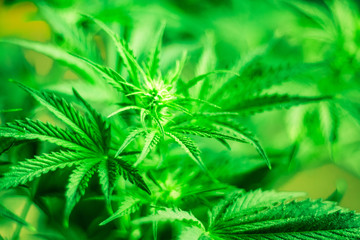Top view. Green background. Cannabis flowers. Marihuana plants close up. Growing indoor cultivation. Medical cannabis and legalization of marijuana. Marijuana leaves. Planting weed.