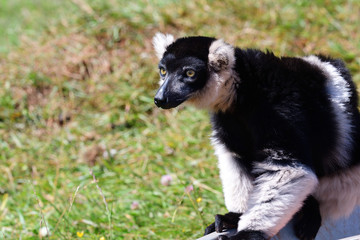 Black and white ruffed lemur (varieca variegata)