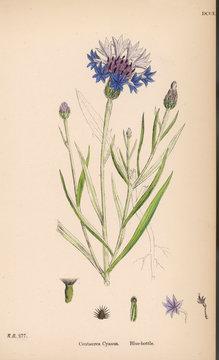 PlantsCentaurea Cyanus or Blue Bottle Cornflower