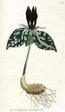Plants Trillium Cuneatum