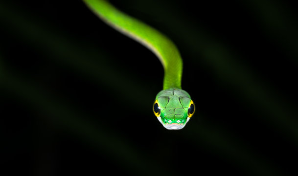 Satiny parrot snake (Leptophis depressirostris) at night on the Osa Peninsula, Costa Rica.