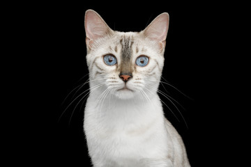 Portrait of Snow White Bengal Cat with Blue eyes on isolated Black Background, front view