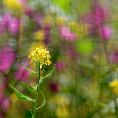 vibrant yellow wild lily flower on colorful blured meadow background