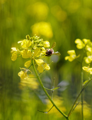 small honey bee on yellow flowers, blurred meadow backgrounds