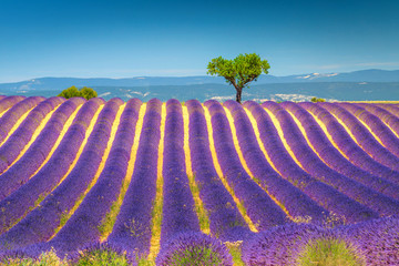 Summer landscape with violet lavender bushes in Provence, Valensole, France