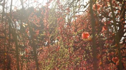 晴れた日のしだれ梅 農業センター 逆光