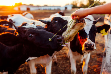 Photo sur Aluminium Vache Farmer feeding cows with grass on farm yard at sunset. Cattle eating and walking outdoors.