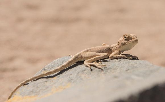 Closeup of egyptian desert agama lizard on a rock