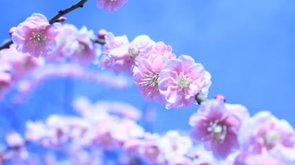 晴れた日のしだれ梅と青空 農業センター クールイメージ