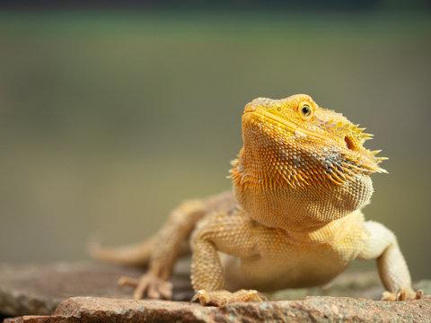 Pogona or Bearded dragon