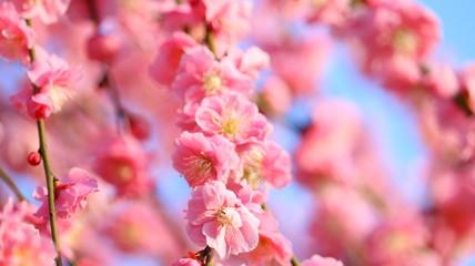 夕日を浴びるしだれ梅と春の空 農業センター ふんわりあざやかイメージ