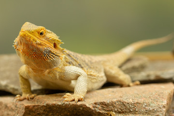 Pogona or Bearded dragon