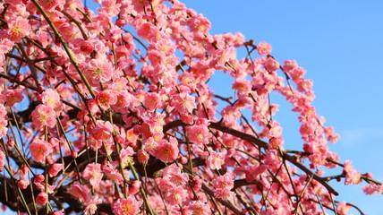夕日を浴びるしだれ梅と春の空 農業センター