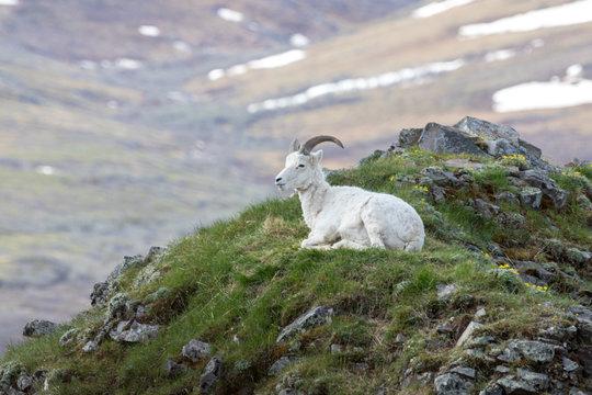 resting dull sheep