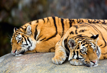 Two tigers, lying next to each other (Panthera tigris)
