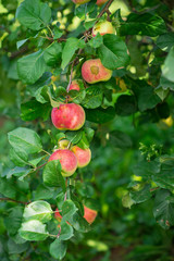 apples that weigh on the green branch in the garden