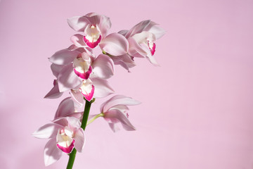 beautiful tropical pink orchid on a light  background, blank