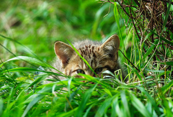 Young wildcat (Felis silvestris) in grass