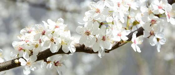 Banner - Baumblüte in Weiß