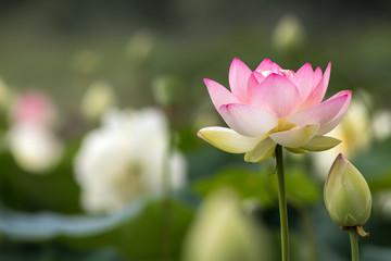 蓮の花 初夏イメージ