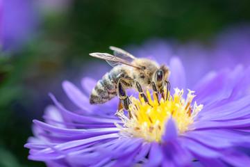 Western honeybee - Apis mellifera - pollinates an Aster