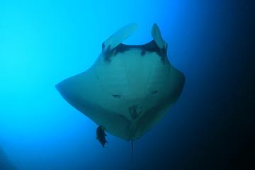 Oceanic Manta Ray (Manta birostris) in Koh Bon, Thailand