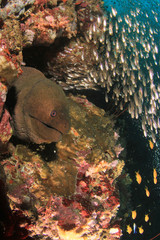 Giant Moray Eel, coral and fish