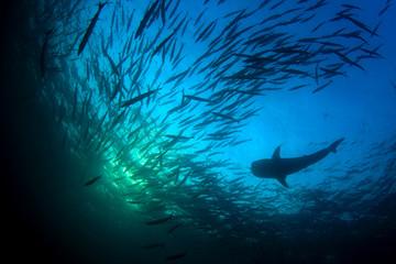 Whale Shark and school of Chevron Barracuda fish
