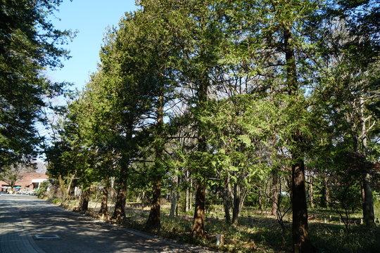 サワラの並木